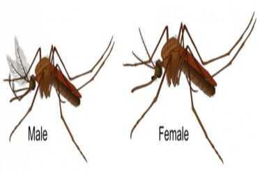 Những sự thật thú vị về loai muỗi có thể bạn chưa biết !